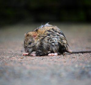 ドブネズミと戦うための基礎知識